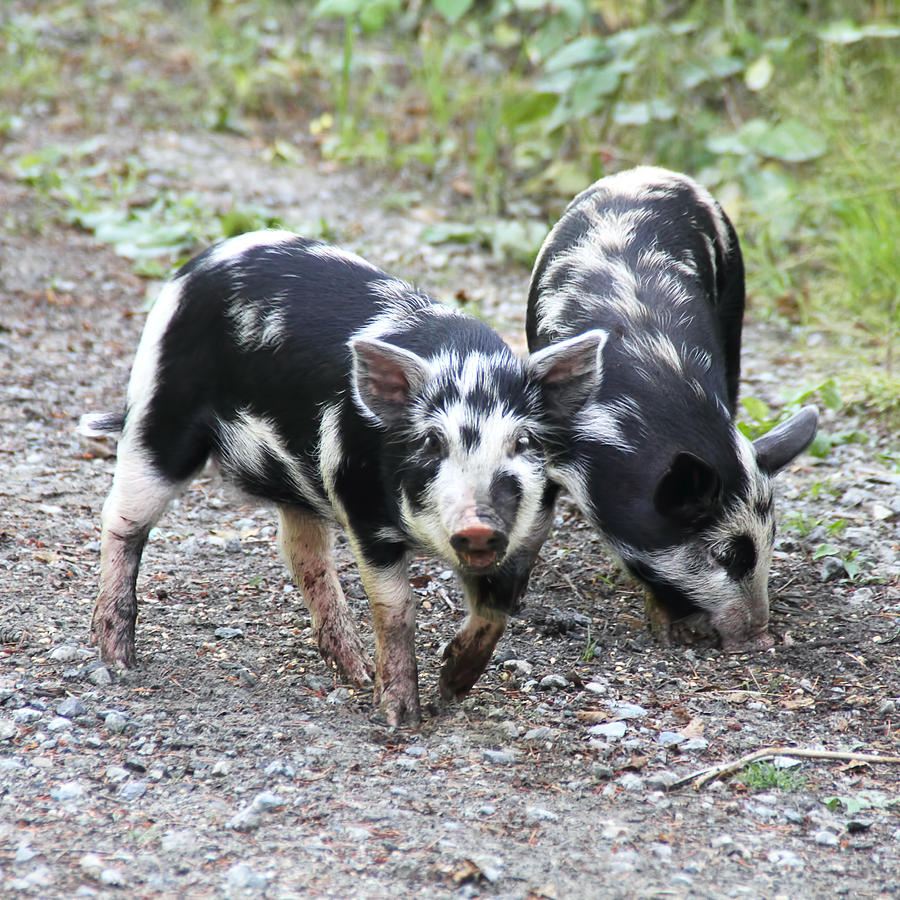Piglets Photograph - Two Little Pigs by Peggy Collins