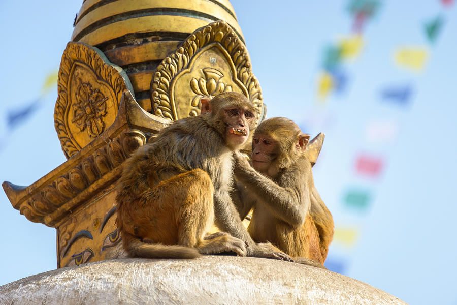 Macaque Photograph - Two Macaques On Top Of Chorten by Dutourdumonde Photography