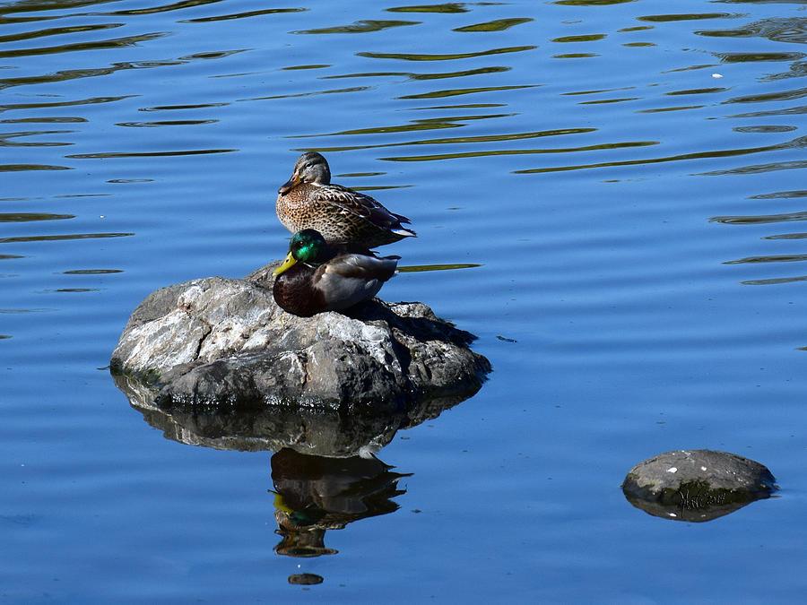 Two Mallard Ducks Photograph