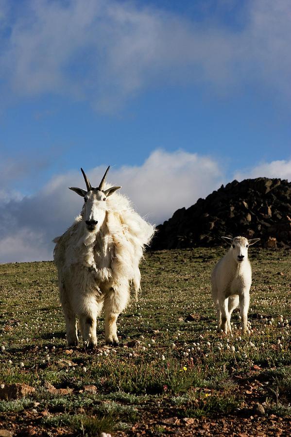 Animal Kingdom Photograph - Two Mountain Goats Oreamnos Americanus by Scott Dickerson