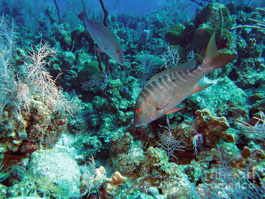 Mutton Snapper Photograph - Two Muttons by Carey Chen