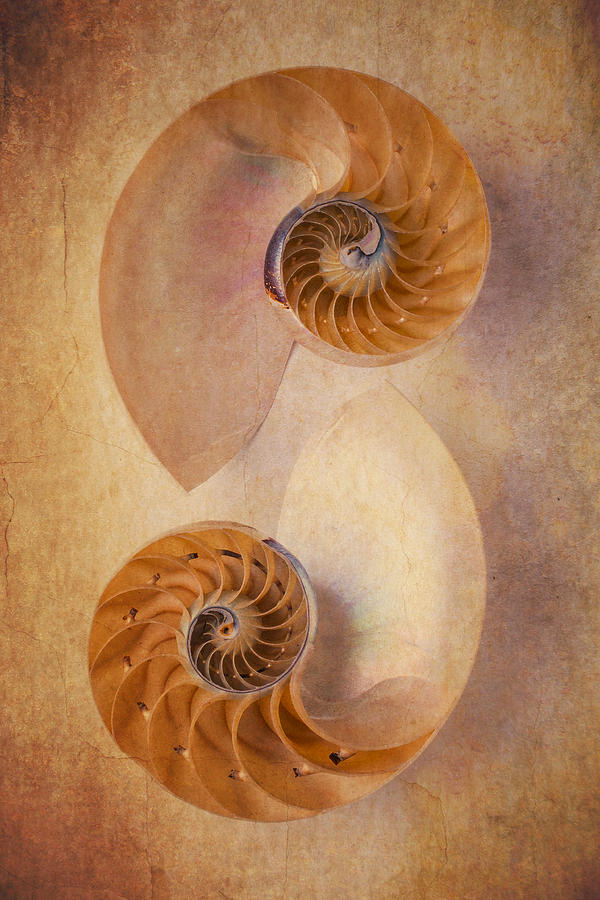 Earthy Photograph - Two Nautilus Shells by Garry Gay