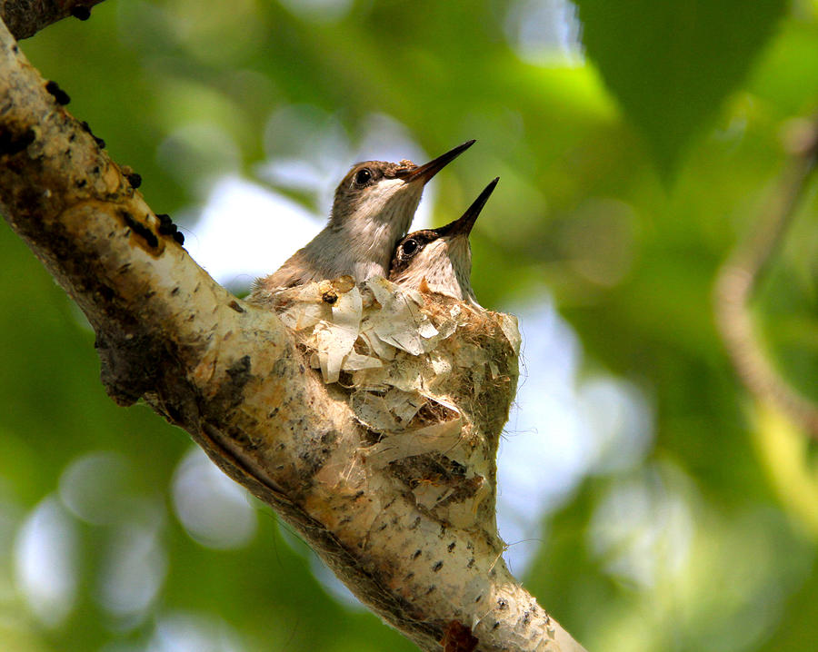 Two Nestling Black-chinned Hummingbirds by Ed  Riche