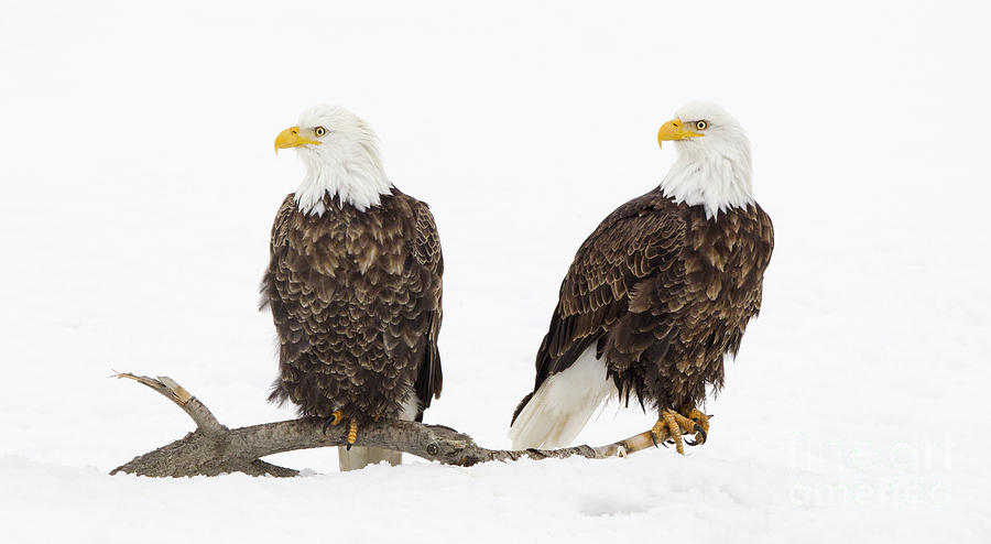 Bald Photograph - Two Of A Kind by John Blumenkamp