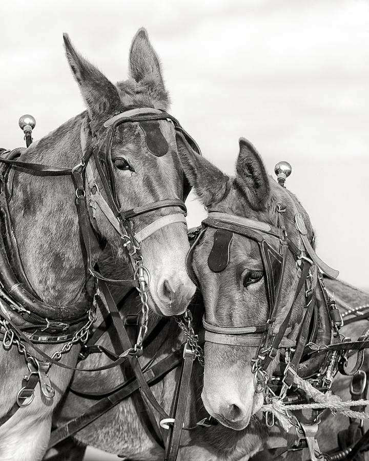 Mules Photograph - Two of a Kind by Ron  McGinnis