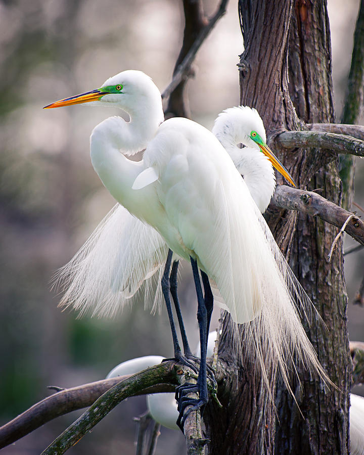Egrets Photograph - Two Of A Kind by Tammy Smith
