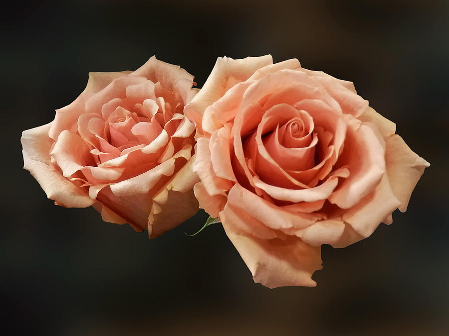 Two Peach Roses Photograph By Susan Savad