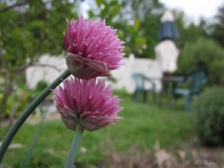 Garden Photograph - Two Pink Chives by MTBobbins Photography