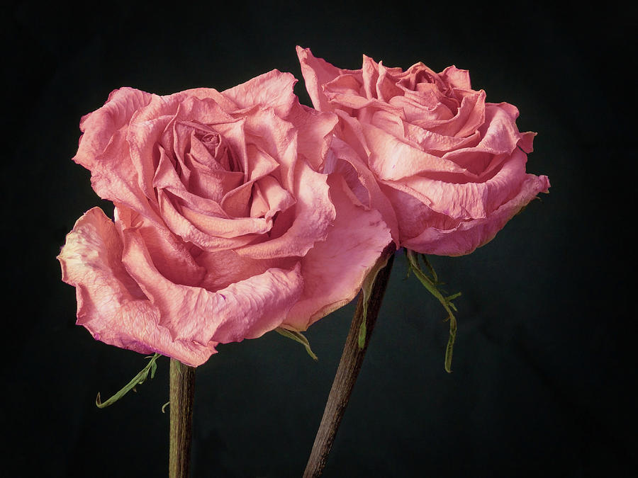 Two Pink Roses, Still Life Photograph by Raspu