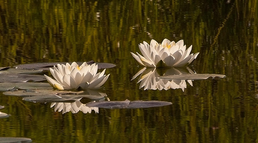 Water Lilies Photograph - Two by Randolph Fritz