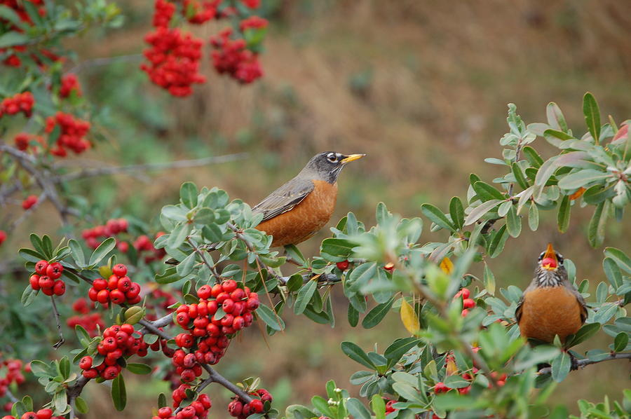 Two Robins Eating Berries Photograph by Linda Brody