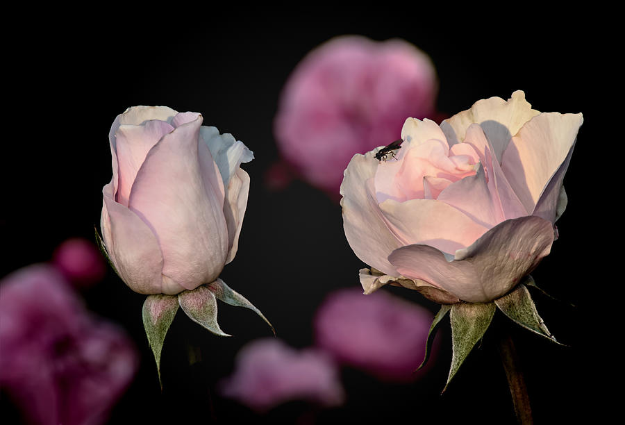 Roses Photograph - Two Roses And A Fly by Tomasz Dziubinski