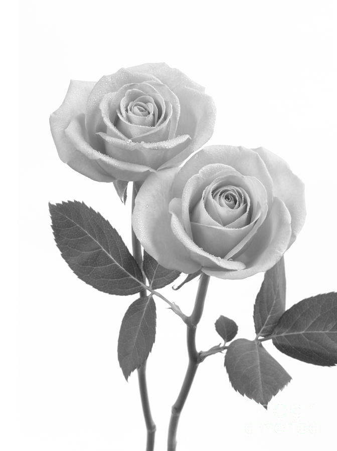 e8268722a Rose Photograph - Two Roses In Shades Of Grey by Rosemary Calvert