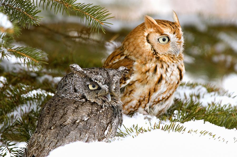 Winter Photograph - Two Screech Owls by John Pitcher