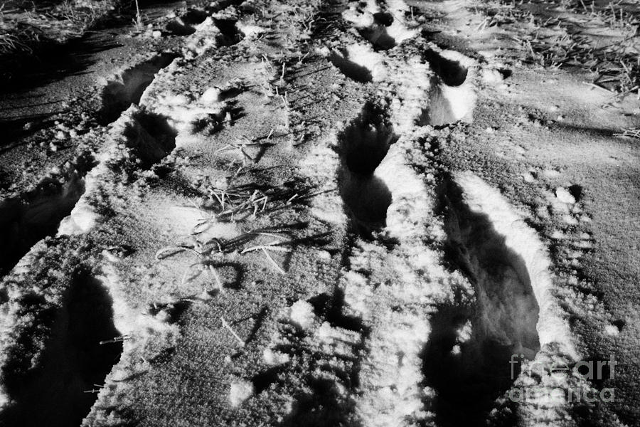 Fresh Photograph - two sets of fresh footprints crossing deep snow in field Forget Saskatchewan Canada by Joe Fox
