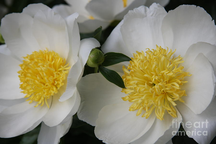 White Peony Photograph - Two Sisters by Christiane Schulze Art And Photography