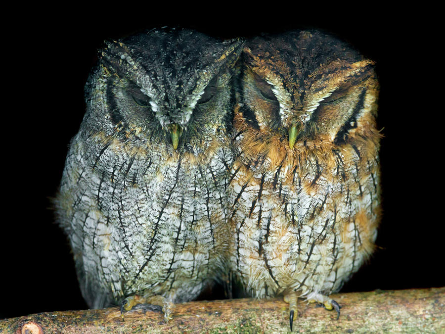 Two Small Owls Sleeping Together Photograph by Picture By Tambako The Jaguar