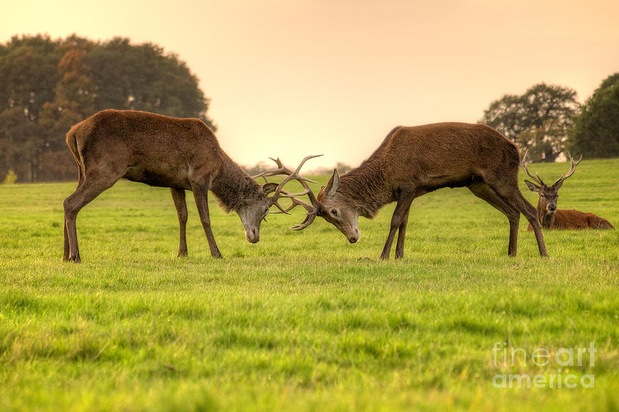 Stags Photograph - Two stags lock horns at dusk in Richmond Park England by Mark Carnaby