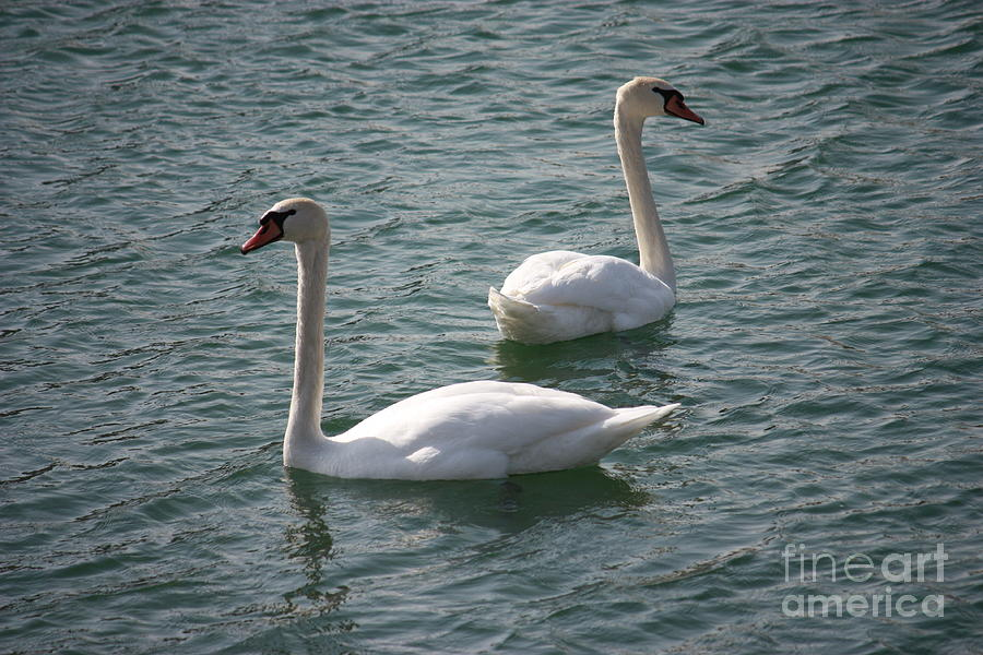 Nature Photograph - Two Swans A Swimming by Brook Steed