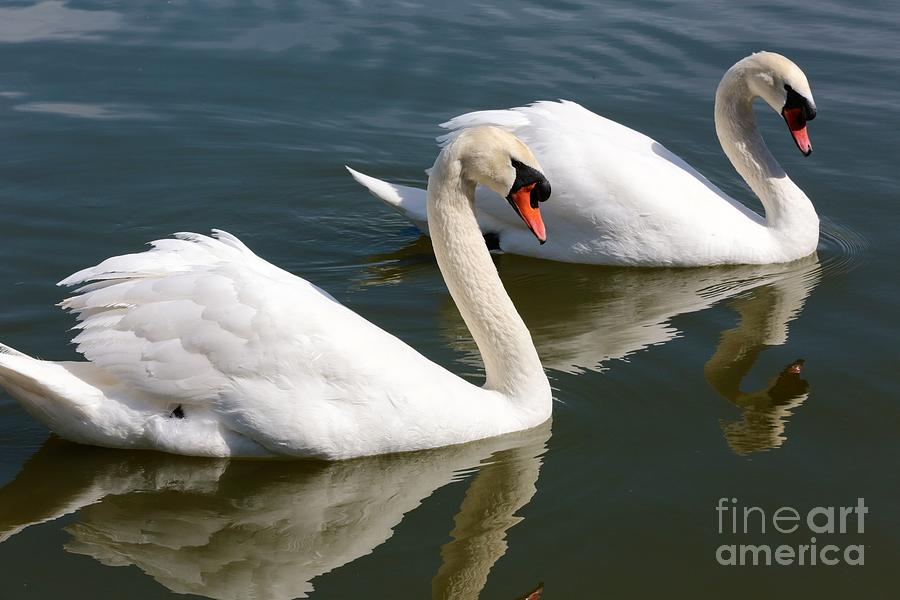 Swan Photograph - Two Swimming Swans by Carol Groenen