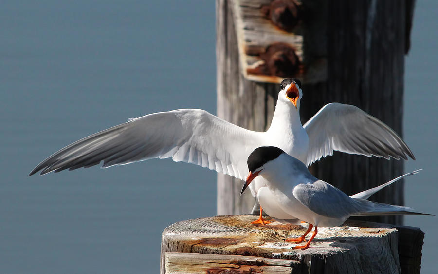 Two Terns Photograph by Diane Rada