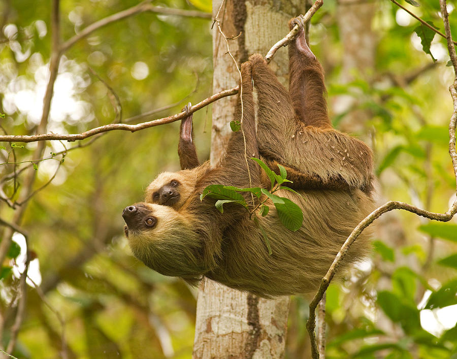 Panama Photograph - Two-toed Sloth by Brian Magnier