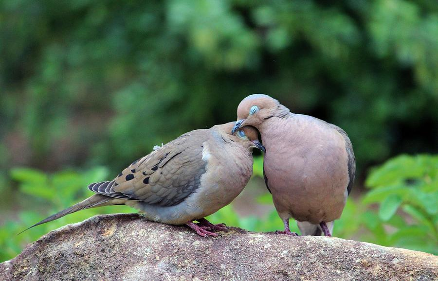 Birds Photograph - Two Turtle Doves by Cynthia Guinn