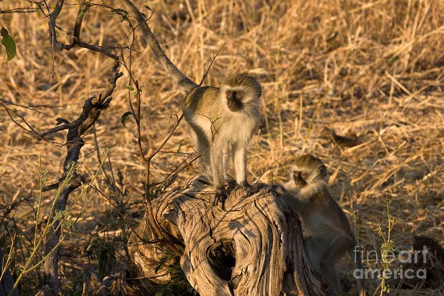 Monkeys Photograph - Two Vervet Monkeys by Chris Scroggins