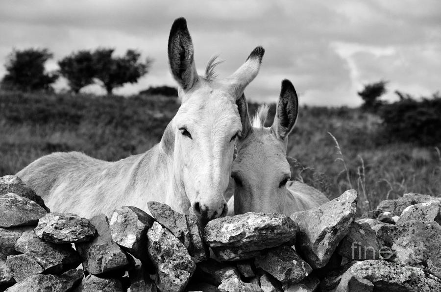 Donkey photograph two white irish donkeys by ricardmn photography