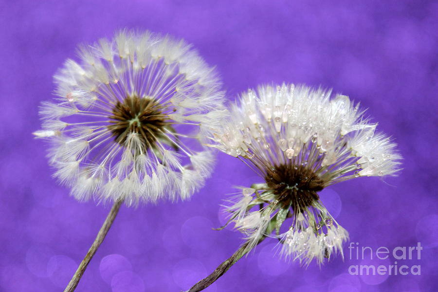Dandelion Photograph - Two Wishes by Krissy Katsimbras
