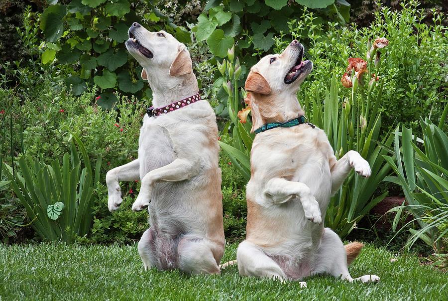 Action Photograph - Two Yellow Labrador Retrievers Sitting by Zandria Muench Beraldo