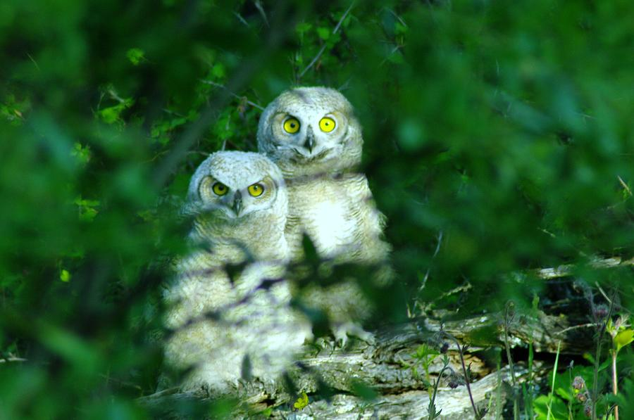 Owls Photograph - Two Young Owls by Jeff Swan