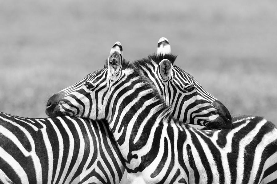 Two Zebras embracing in Africa Photograph by Pchoui