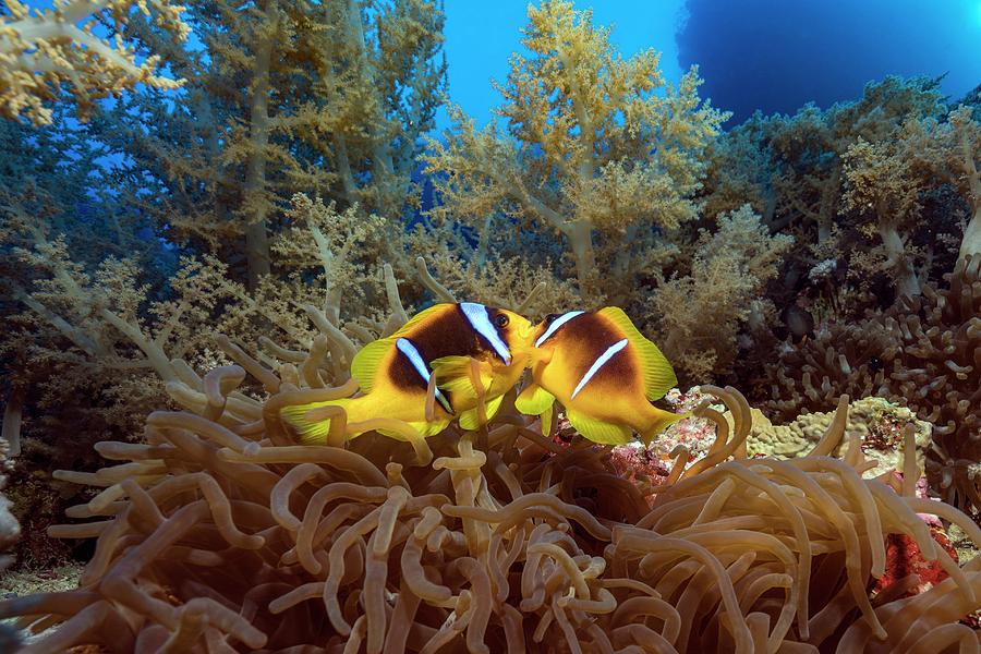 Amphiprion Bicinctus Photograph - Twoband Anemonefish In An Anemone by Alexis Rosenfeld/science Photo Library