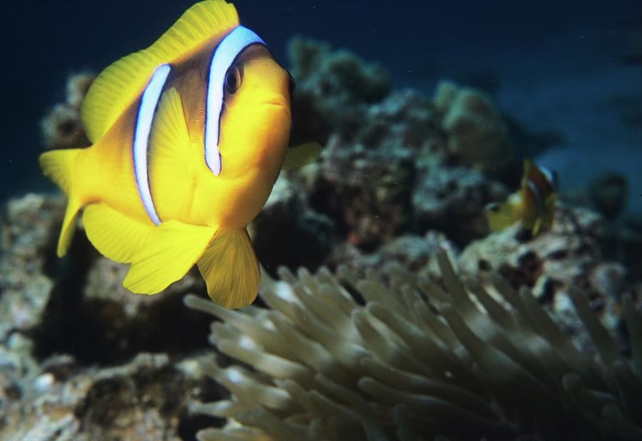 Amphiprion Bicinctus Photograph - Twoband Anemonefish by Lionel, Tim & Alistair/science Photo Library