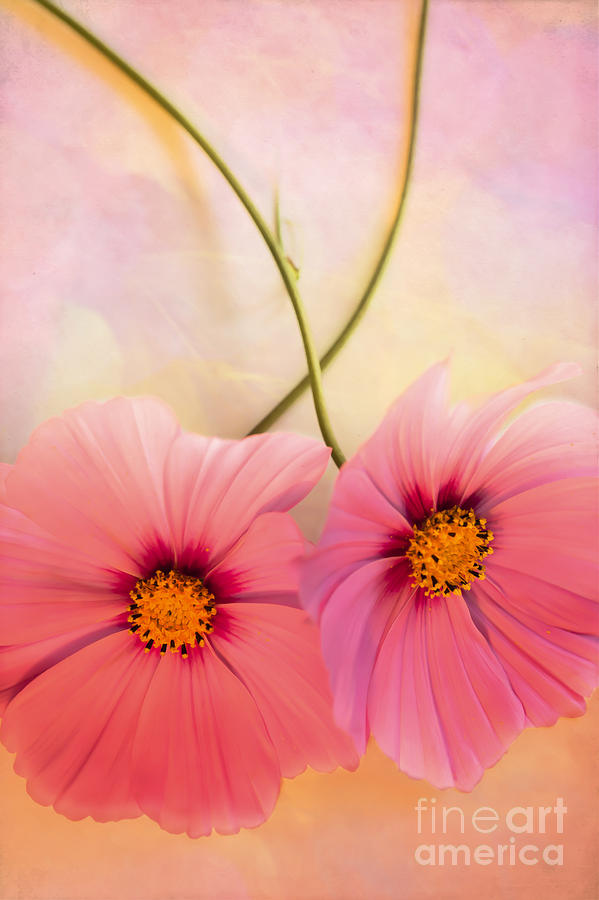 Cosmos Flowers Photograph - Twos Company by Jan Bickerton