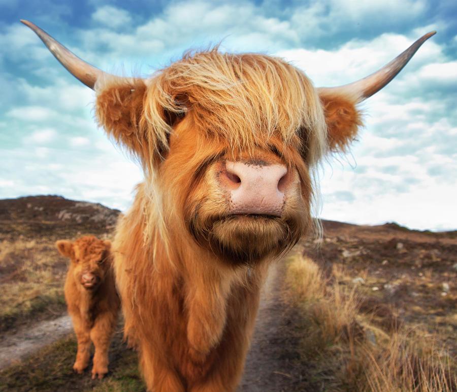 Uk Scotland Highland Cattle With Calf