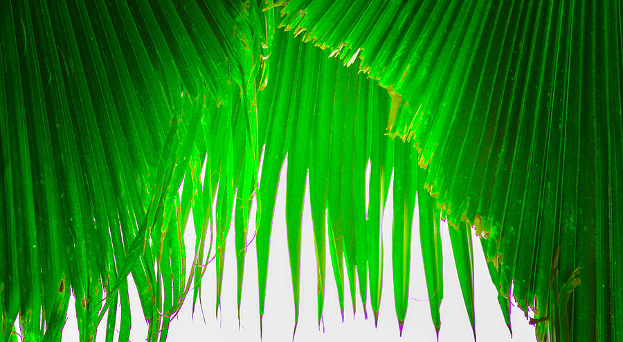Fan Palm Tree Photograph - Under The Fan Palm by Lisa Cortez