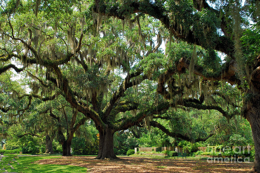 Oak Trees Photograph - Under The Oaks by Bob Sample