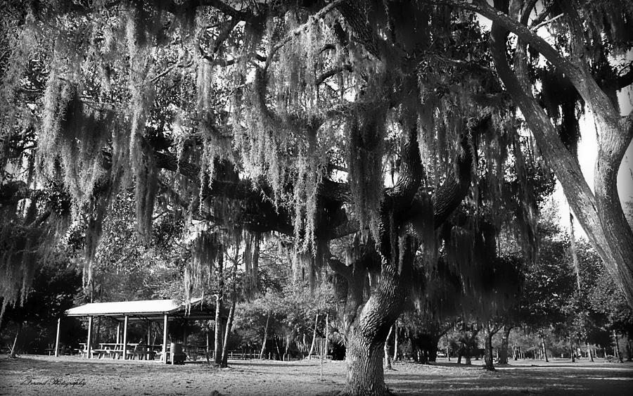 Oak Photograph - Under The Oaks by Debra Forand