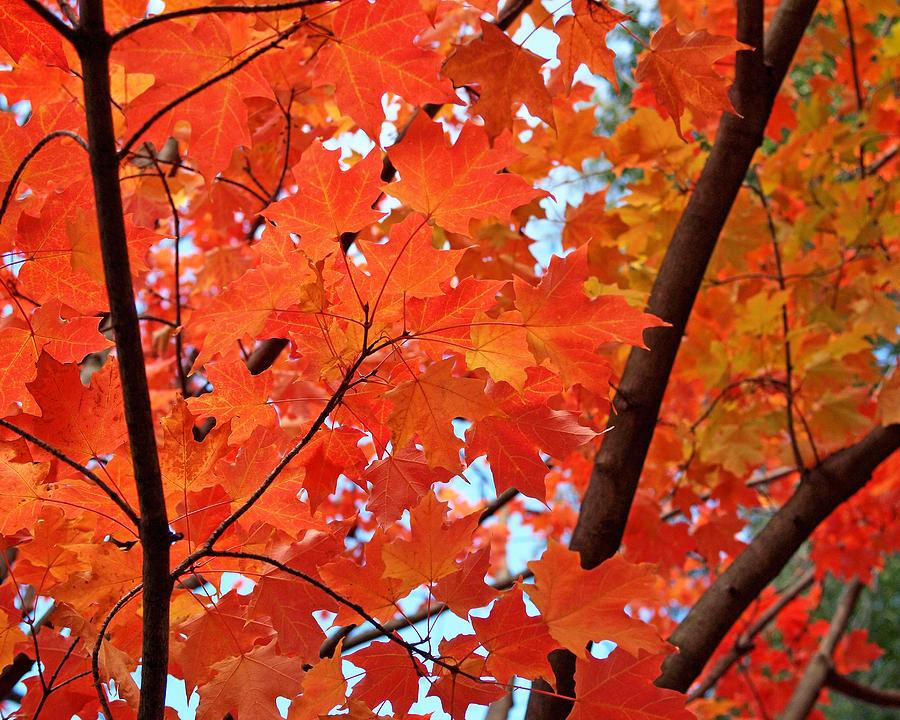 Maple Photograph - Under The Orange Maple Tree by Rona Black