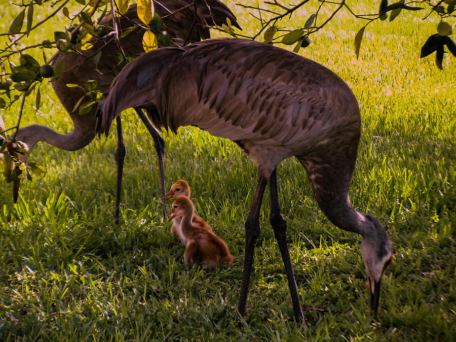 Chicks Photograph - Under The Orange Tree by Zina Stromberg
