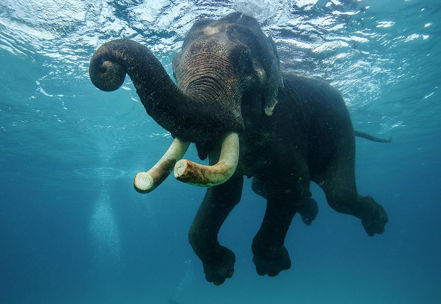 Underwater Elephant Photograph by Mike Korostelev  Www.mkorostelev.com
