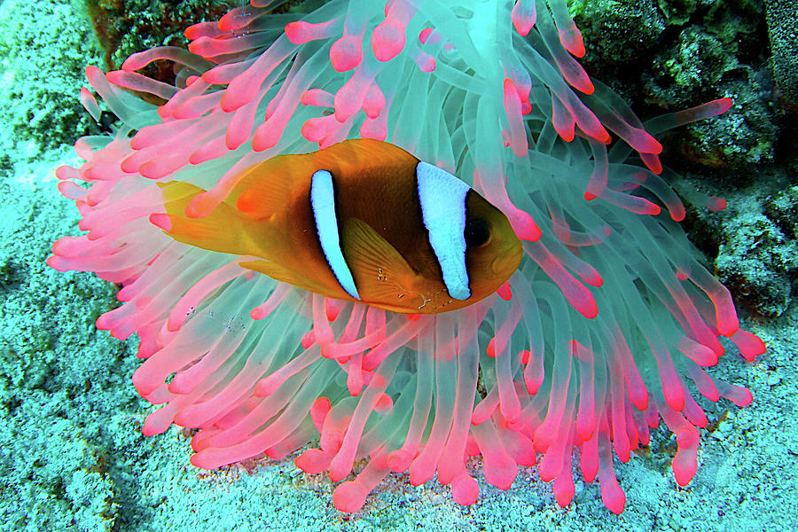 Underwater Photography Of Clown Fish Photograph by Vincent Pommeyrol