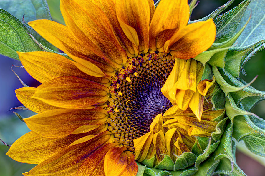 Sunflower Photograph - Unfurling Beauty by Heidi Smith