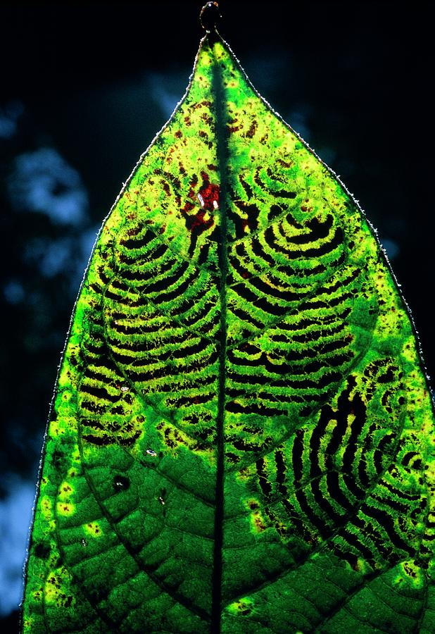Fungus Photograph - Unidentified Fungus On Rain Forest Leaf by Dr Morley Read/science Photo Library