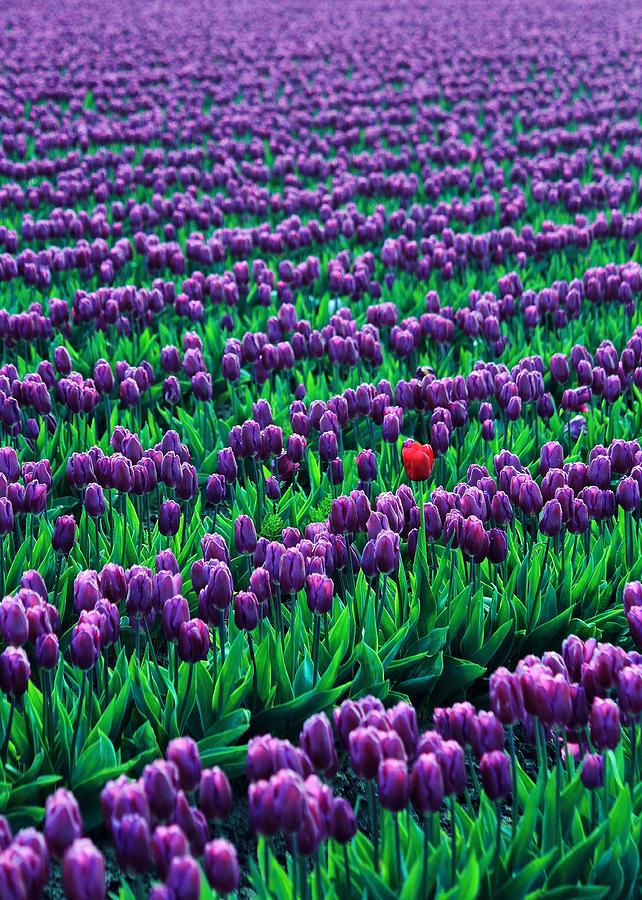Tulips Photograph - Unique by Benjamin Yeager