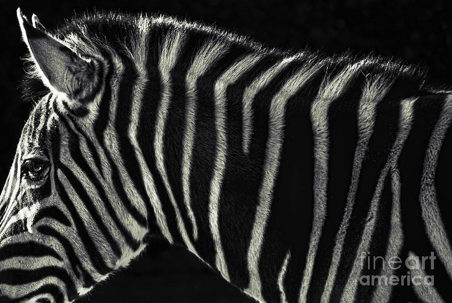 Zebra Photograph - Unique Similarity by Andrew Paranavitana