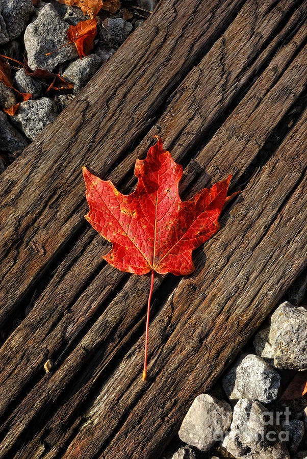 Red Leaf Photograph - Uniquely Red by Pamela Baker