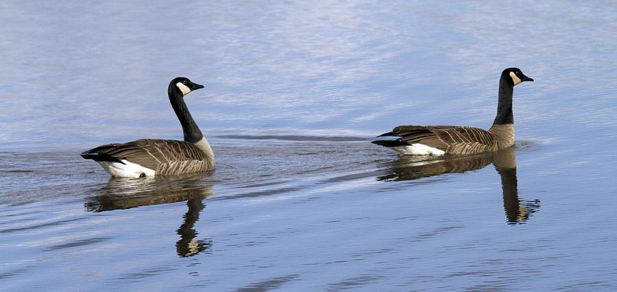 Geese Photograph - Unison by Rebecca Cozart